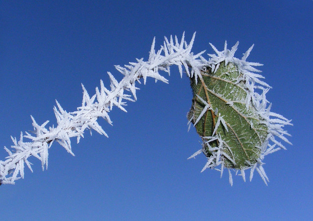 Natural tinsel on frosty plant