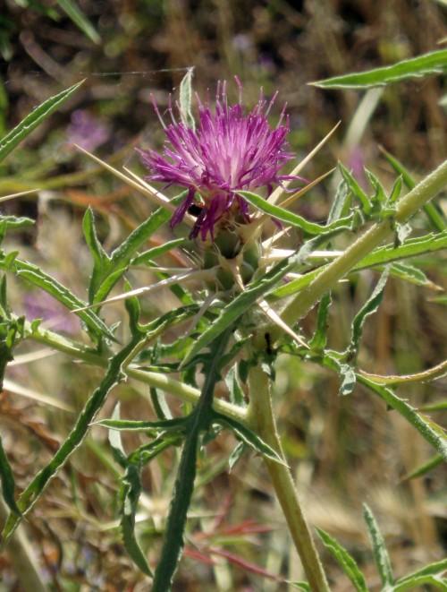 Centaurea calcitrapa 5292176937_7c2eafbc4e_o