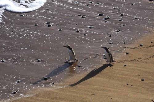 world new travel newzealand wallpaper bird beach nature yellow penguin penguins wildlife zealand nz eyed aotearoa avian desktopwallpaper colony oamaru shah trekker bushy bushybeach antipodes saumil hoiho megadyptes megadyptesantipodes pingwing worldtrekker saumilshah