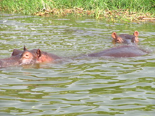 Hippos | by Reporterruthie