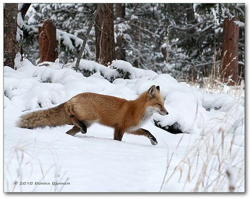 winter snow woods colorado wildlife redfox vulpesvulpes wildcanids edgelot