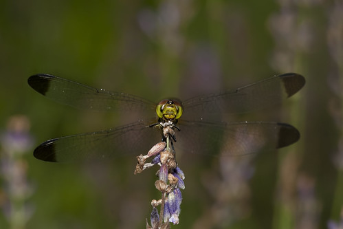 Dragonfly head on