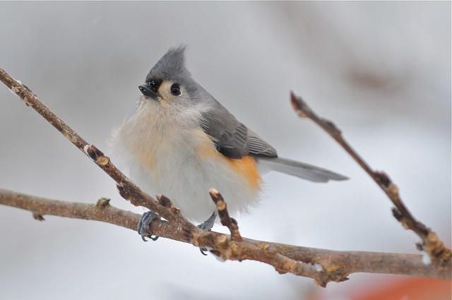 Tufted Titmouse keeping warm on a snowy winter's day