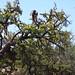 V posvátném městě Moulay Idriss i kozy po stromech šplhají, foto: Vladimír Novák