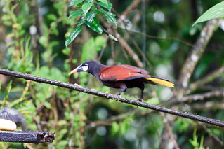 Oropendola | by mTuttle