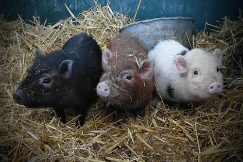 Piglets | by Meneer Zjeroen