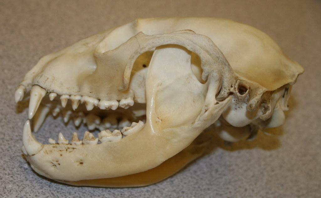 Raccoon Skull | This is one of the teaching skulls at Jackso