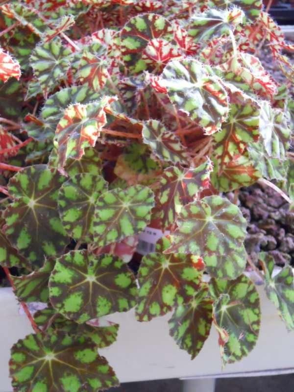 Begonia tiger v 1