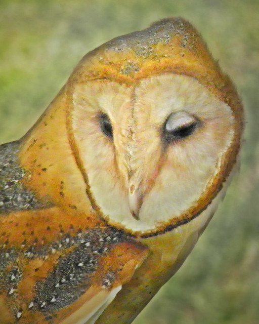 Barn owl oval face
