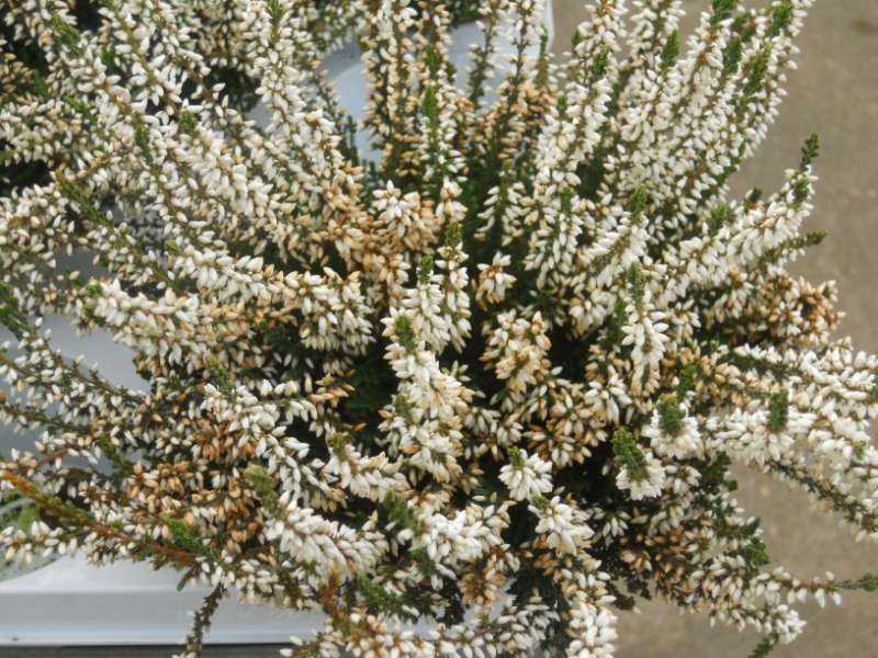 Calluna vulgaris 'Alba' 2