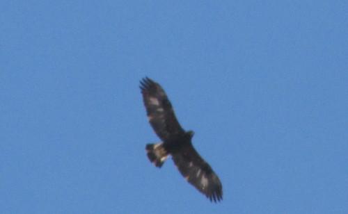 Golden Eagle - immature