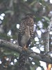 Collared Forest-Falcon - Micrastur semitorquatus (immature) by sail121j