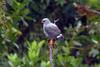 Plumbeous Hawk (Leucopternis plumbeus) by sparverius81