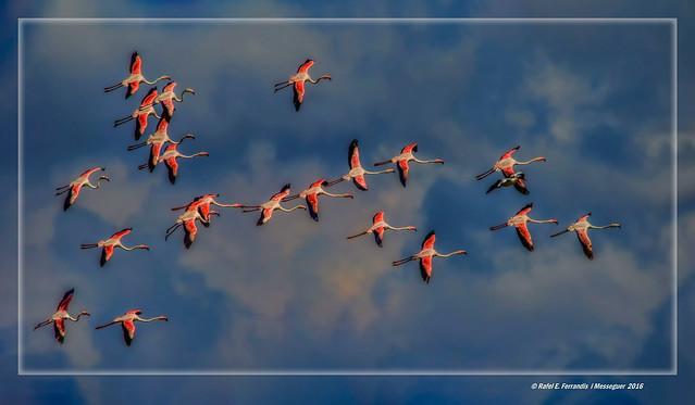 Vint-i-un flamencs i un ànec (Phoenicopterus roseus) Twenty-one flamingos and a duck (Racó de l'Olla, València, l'Horta, Spain)