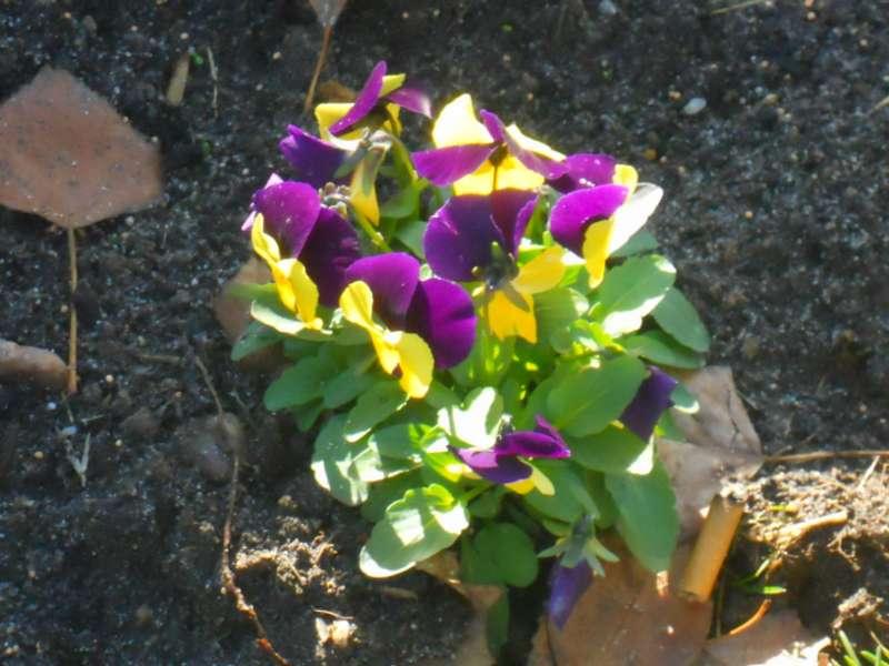 Viola tricolor 4