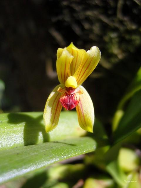 Orquídea Mormolyca ringens