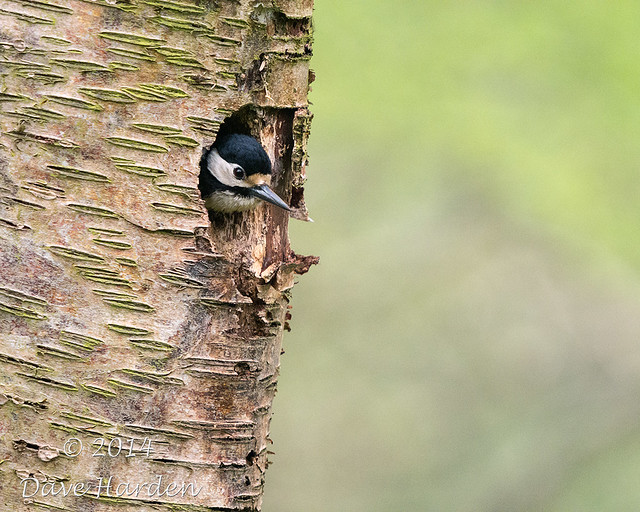 Greater Spotted Woodpecker (m)