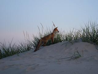 2009 Fox in Pärnu beach