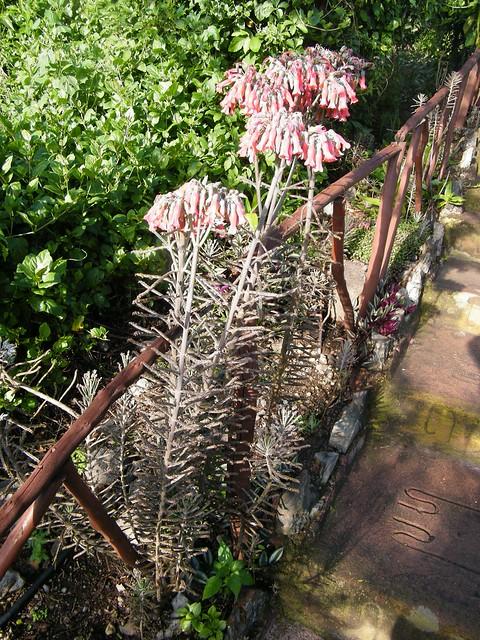 Bryophyllum delagoense (Eckl. & Zeyh.) Schinz (CRASSULACEAE)