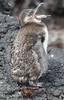 Galapagos Penguin (Sphensicus mendiculus) by Paul Floyd Wildlife Photography