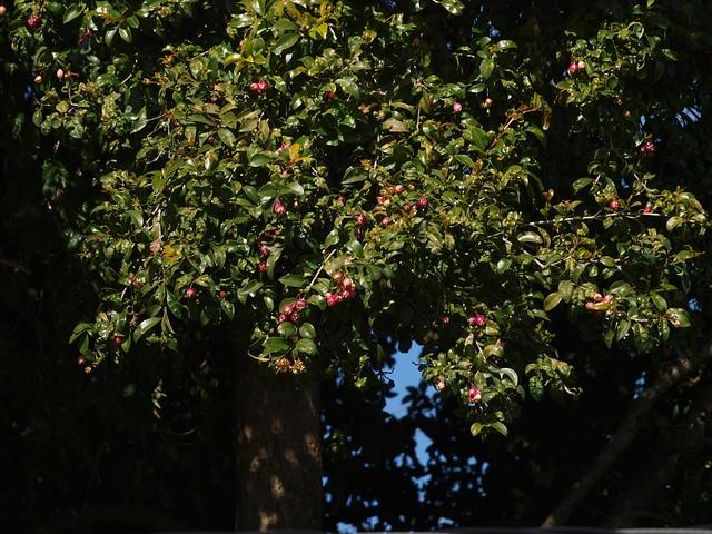 K2215522 australian cherry tree Eugenia