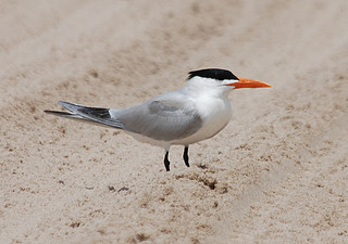 Royal Tern. | by flickr quickr