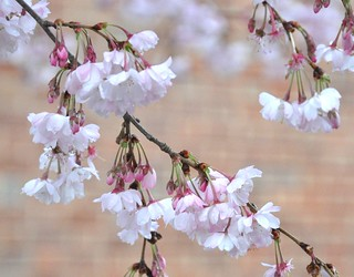 Trees That Have Showy Flowers