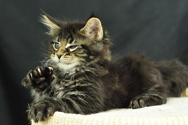 Maine Coon Kittens: Odin
