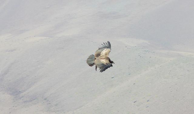 A MAIOR AVE VOADORA DO MUNDO. Condor-dos-andes, fêmea (Vultur gryphus). O Condor-dos-andes é maior em tamanho, com uma envergadura de até 3,2 metros. É o símbolo da Bolívia, Chile, Colômbia e Equador, e está compondo os Brazões desses paises.