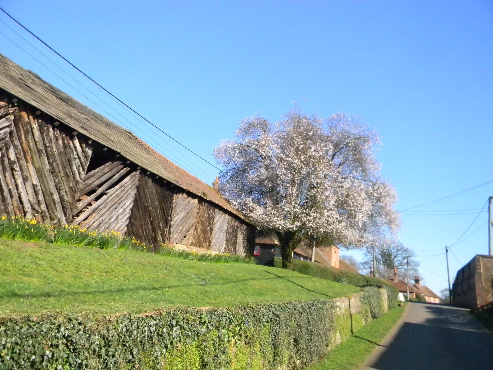 Flowering tree, unusual building Plum maybe? Flowers too big for blackthorn. Farnham to Godalming