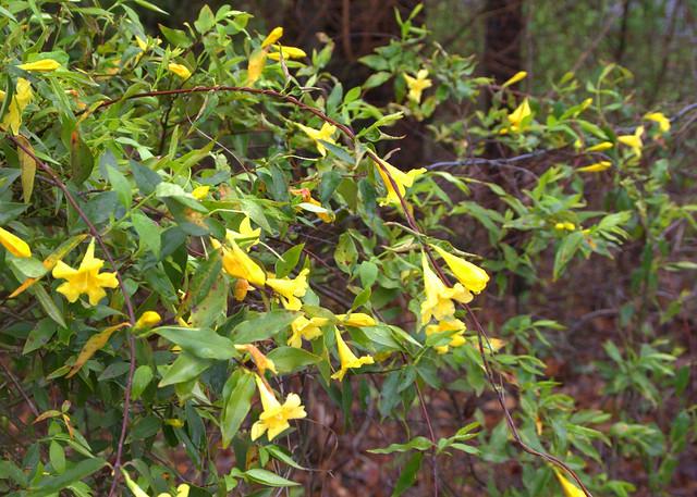 Yellow Jessamine - 2