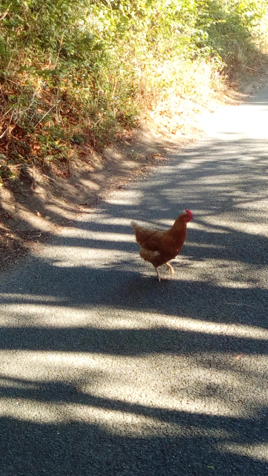 Why did the chicken cross the road? The Saturday Walking Club wants answers!