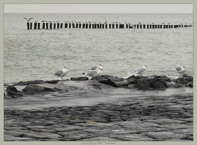 Zwin : Seagulls (1) - 8 miles from Bruges - 7/22  -- (natural color)