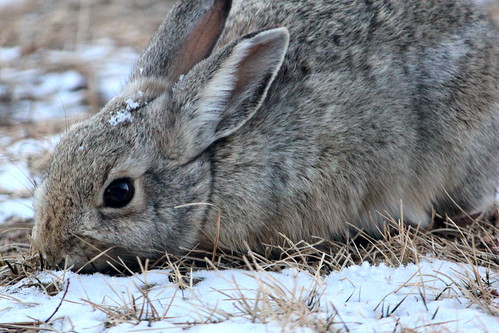 winter rabbit bunny wyoming cottontail