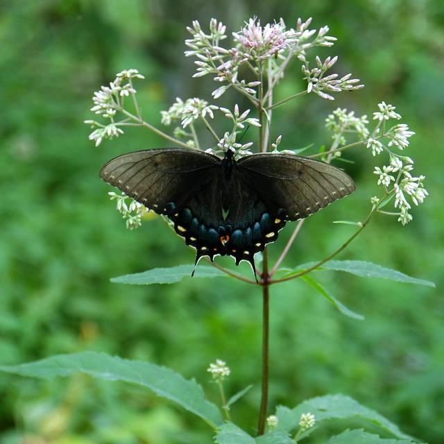 blood mountain butterfly