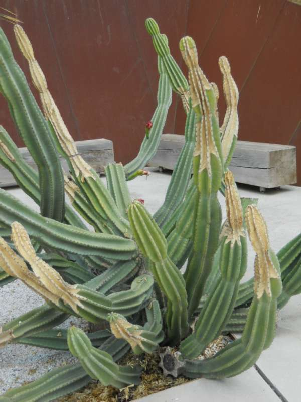 Cereus hildmannianus v 1