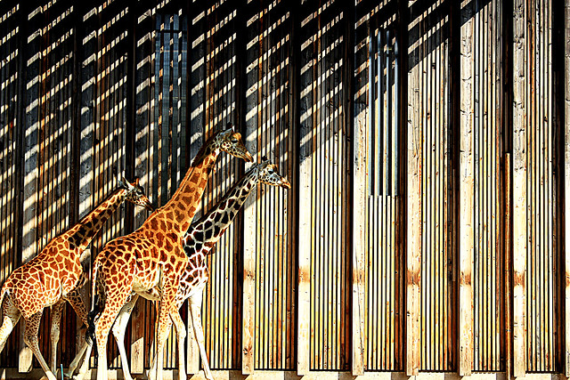 girafes zébrées