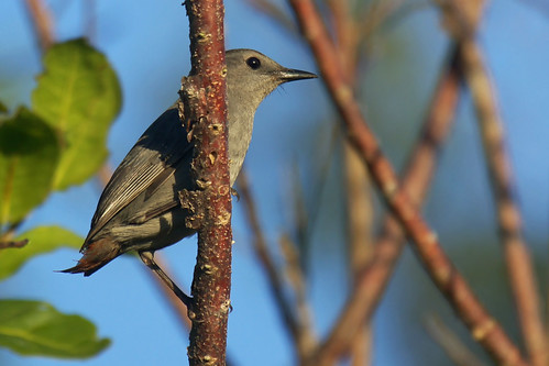 Gray Catbird with no tail | by Dave 2x