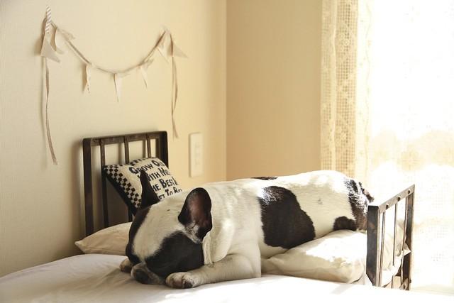 French Bulldog Chikuwa sleeping
