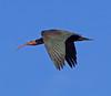 Bald Ibis (Northern)               Geronticus eremita by Graham Ekins