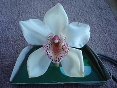 DSC04980 Orchid / Orchidee