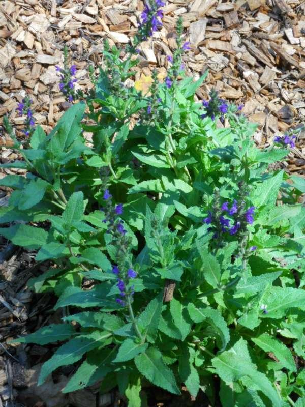 Salvia x sylvestris v 1