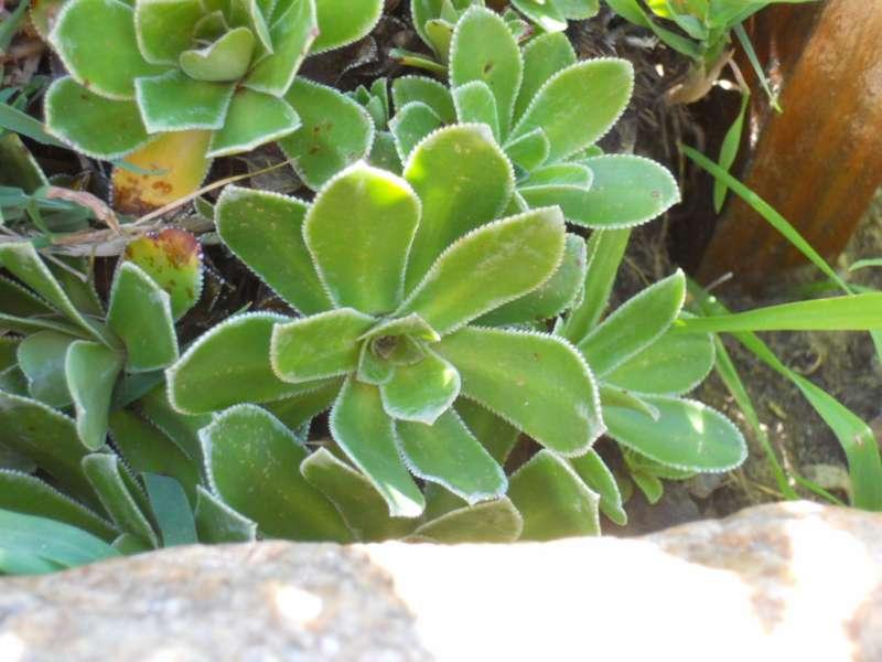Saxifraga cotyledon 1