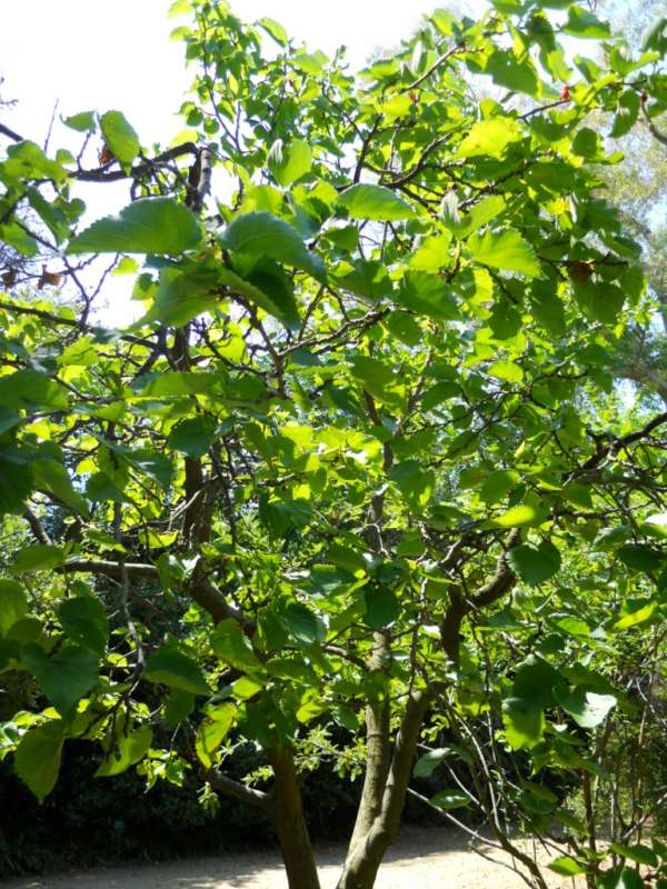 Morus nigra v 1