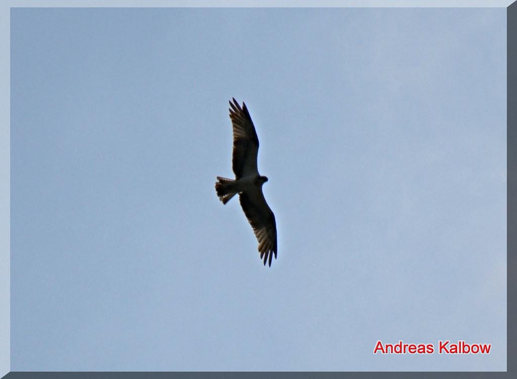 Fischadler-51 | Fischadler Flugbild | Vogelfoto69 | Flickr