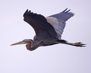 Purple Heron (Ardea purpurea) | by Lip Kee