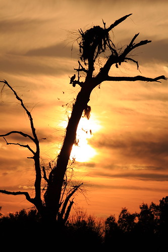 sunset tree nest florida osprey brooksville