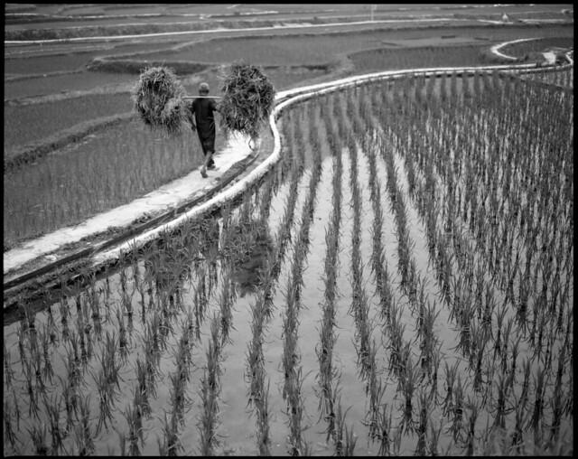 reel around the rice