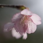Cherry Blossom in Okinawa (1)