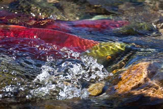 Sockeye Salmon Negotiating the Adams River Rapids